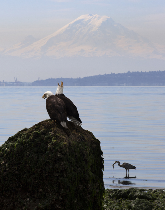 A pair of eagles bickering at Indianola Beach